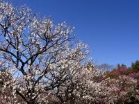 梅祭り - tokoya3@