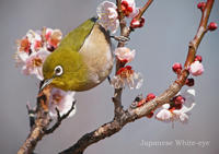 メジロ:Japanese White-eye - 動物園の住人たち写真展