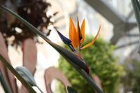 鮮やかな花姿のストレリチア - 神戸布引ハーブ園 ハーブガイド ハーブ花ごよみ
