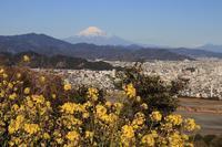 菜の花が見頃です~ - 富士山大好き~写真は最高!