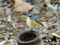 鮮やかなルリビタキ - コーヒー党の野鳥と自然 パート2