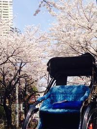 人力車でめぐる桜めぐり~選べる3つのプラン~浅草・谷中・鎌倉 - 日帰りツアー・社会見学・東京観光・体験イベン