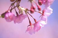 春一番が吹き、カワヅサクラも満開 - 子猫の迷い道Ⅱ