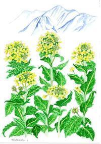 琵琶湖の菜の花 - がちゃぴん秀子の日記