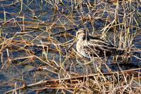 近くの川の鳥さん - 暮らしの中で