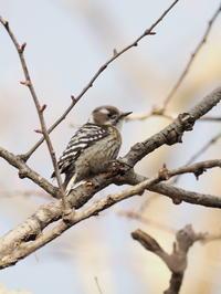 枯れ枝のコゲラ - コーヒー党の野鳥と自然 パート2