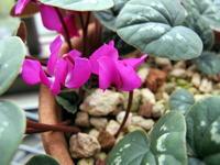 コウム:マゼンタ色かも♪ - リリ子の一坪ガーデン