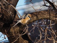 冬陽の中のモズ - コーヒー党の野鳥と自然 パート2