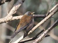 近くのシロハラ - コーヒー党の野鳥と自然 パート2