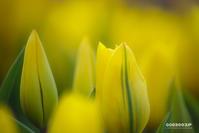 ☆ 黄色い誘惑 ☆ - Trimming