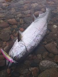 160410 神通川サクラマス58cm - river trekker