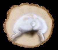 リアリズム絵画:ハムケツ・リバーシブル(輪切り絵アート:ハムスター) - junya.blog(猫×犬)リアリズム絵画