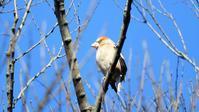 シメシジュウカラ - 山と鳥を愛するアナパパ