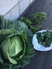 シェア畑で冬野菜収穫の後は「寒おこし」 - Coucou a table!      クク アターブル!