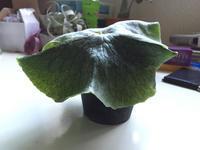 Platycerium Grande - サイキック迷子