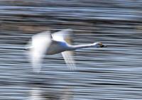 白鳥 - イーハトーブ・ガーデン