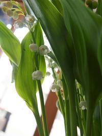 可憐で優しい人気のお花!ドイツスズランが入荷しました。 - ルーシュの花仕事
