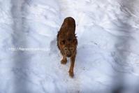 雪の中の長老たち@旭山 - 今日ものんびり動物園