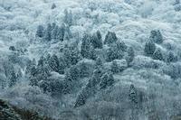 天然杉 - 源爺の写真館