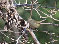ウグイスが出ました - コーヒー党の野鳥と自然 パート2