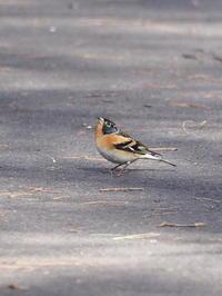 アトリが舞い降りた - コーヒー党の野鳥と自然 パート2