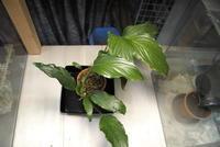 "Homalomena sp. ""Pulau Nias"" - PlantsCade -2nd effort"