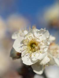 魔改造レンズで撮った梅 - 岳の父ちゃんの PhotoBlog