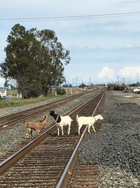かなり危ないヤギさんたち - ちょっと田舎暮らしCalifornia