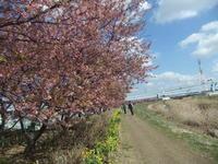 """桜祭り... - 〔家庭菜園日記〕 """"すろーらいふ"""" 茅ケ崎のはまちゃん. 野菜つくり"""