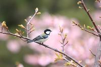 河津桜と鳥さんたち♪ - happy-cafe*vol.2