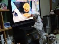 久しぶりに「テレビを観る武蔵」 - わんわん・パラダイス