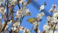 この時期の定番『ウメジロ』 - Life with Birds 3