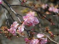 思いがけずの河津桜-前橋市清里町.熊野神社- - からっ風にのって♪
