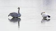 白鳥の湖・・・多々良沼はもう春の気配だけど、未だ大勢滞在中♪ - 『私のデジタル写真眼』