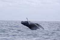 ブリーチ!クジラチャーター - 奄美大島 ダイビングライフ    ☆アクアダイブコホロ☆