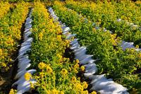 なぎさ公園の菜の花畑 - 花景色-K.W.C. PhotoBlog