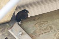 石垣島で鳥撮影してきました。今日はインドハッカとオサハシブトガラスです。 - takiのカメラ散歩~☆
