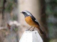 ジョウビタキの♂と♀ - コーヒー党の野鳥と自然 パート2