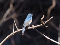 林の中のルリビタキ - コーヒー党の野鳥と自然 パート2