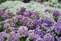 薄紫色の夢 - ヒバリのつぶやき