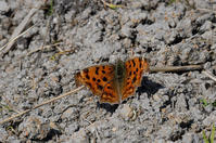 越冬明けキタテハ - 蝶と自然の物語