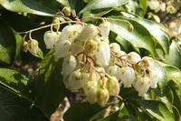 ■春を先撮り (2)17.3.2(アセビ、ネコヤナギ、ヒメウズ) - 舞岡公園の自然2
