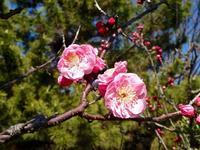 桜の開花,今年は福岡と東京から - 楽餓鬼