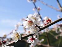 山あいの南高梅青空の下満開の梅の花を現地取材してきました!! - FLCパートナーズストア