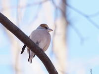 枝先シメ - コーヒー党の野鳥と自然 パート2