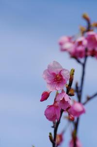 桜散歩 - (鳥撮)ハタ坊:PENTAX k-3、k-5で撮った写真を載せていきますので、ヨロシクですm(_ _)m