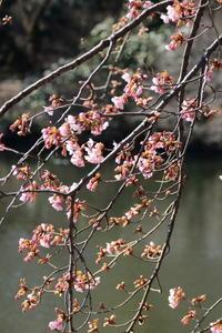 春を探して~♪お写んぽ散策寒桜新宿御苑2 - Let's Enjoy Everyday!