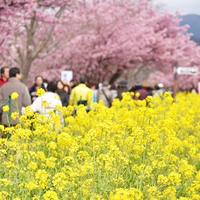 """初めての河津桜を見に行こう。そしてランチは""""あの場所""""へ!! - IkukoDays"""