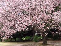 新宿御苑でお花見と、地元で梅まつり - 子猫の迷い道Ⅱ
