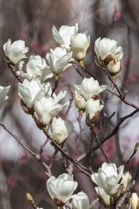 白木蓮が咲きました - あだっちゃんの花鳥風月
